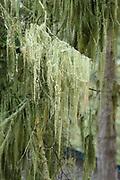 Menzies' cartilage lichen