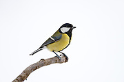 Great Tit perches by a snowy slope in The Cotswolds, UK