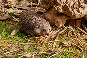 Southern white-breasted hedgehog (Erinaceus concolor) (AKA Eastern European Hedgehog) This hedgehog is an omnivore and has been known to eat a wide range of invertebrates , but prefers earthworms, slugs and snails. It will also eat frogs, small reptiles, young birds and mice, carrion, bird eggs, acorns and berries. it is mainly a nocturnal animal. Photographed, israel in April