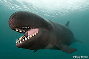 false killer whale, Pseudorca crassidens (c,de)