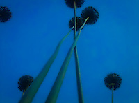 looking up at long garlic flower stems toward the sky overhead