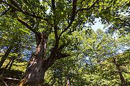 400 year odl oak