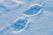 Wolf tracks in snow in Yellowstone National Park