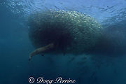 dusky shark, Carcharhinus obscurus, plunges into baitball of sardines or pilchards, Sardinops sagax, also under attack by Eastern little tuna, or bonito, Euthynnus affinis, Transkei, during annual Sardine Run, South Africa