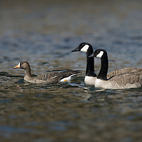 A speckled belly goose swimming in a river.