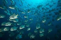Pacific Spadefish (Chaetodipterus zonatus)<br /><br />Contreras Islands<br />Coiba National Park, Panama<br />Tropical Eastern Pacific Ocean<br /><br />La Ballena dive site