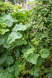 Eccremocarpus scaber (Chilean Glory Flower) with Cucumber 'La Diva'