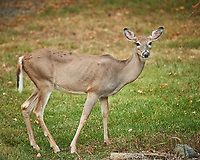 Wary Doe. Image taken with a Nikon D5 camera and 80-400 mm VRII lens.