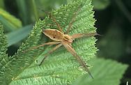 Nursery-web Spider - Pisaura mirabilis