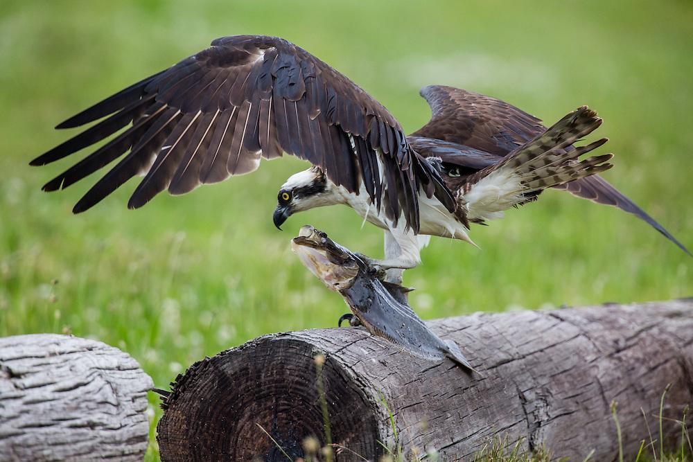 Osprey captures a summer flounder locally called a fluke.