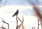Short-eared Owl checking for prey
