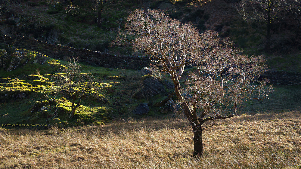 A perfectly still, quiet, windless day in Snowdonia. The sunshine was slowly moving around the hillock, below which this tree grew slightly isolated from everything else around. The low light separated the tree from the shadowy background in the theatrical way I'm always looking for.