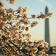 The famous Yoshino Cherry Blossoms surrounding the TIdal Basin in Washington DC burst into bloom for spring. The Washington Monument is in the background.
