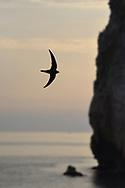 Alpine Swift - Apus melba
