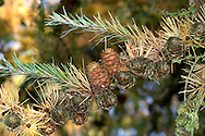 Japanese Larch Larix kaempferi (Pinaceae) HEIGHT to 40m. A deciduous conifer resembling Common Larch, but lacking the drooping shoots, and having a more twiggy appearance with a dense crown. BARK Reddish-brown, flaking off in scales. LEAVES Needles, growing in tufts of about 40, slightly broader, and greyer in colour than those of Common Larch. REPRODUCTIVE PARTS Male cones are similar to those of Common Larch, but female cones are pink or cream in spring, becoming brown and woody in autumn, and differing from those of Common Larch in having turned-out tips to the scales, looking like woody rose-buds. STATUS AND DISTRIBUTION Native of Japan, but now very common in forestry plantations, replacing the Common Larch because of its more vigorous growth. Of less value to wildlife, because of the dense needle-litter that accumulates beneath it, and the later leaf-fall.