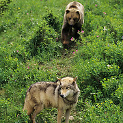 Grizzly Bear (Ursus horribilis).  A wolf and a grizzly bear confrontation.  Captive Animal.