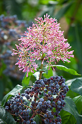 The flower and fruit of Fuchsia paniculata AGM
