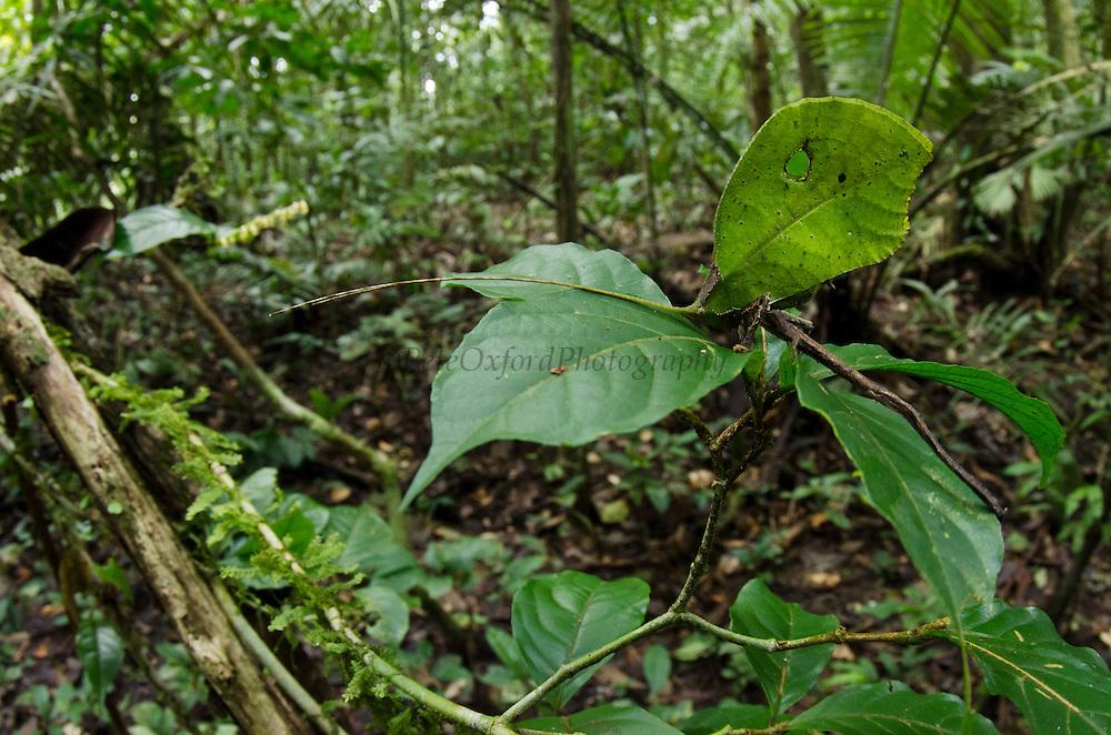 Leaf Katydid (Cycloptera speculata)<br /> Yasuni National Park, Amazon Rainforest<br /> ECUADOR. South America<br /> HABITAT & RANGE:
