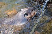 North American beaver (Castor canadensis acadicus).