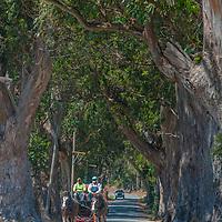 Clydesdale horses pull a wagon along a country road near San Gregorio, California.