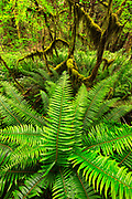 Sword ferns in the Quinault Rainforest, Olympic National Park.