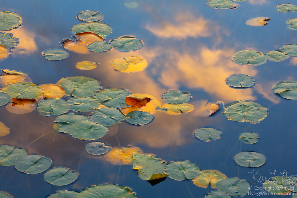 Fragrant water lily pads, some of which are turning yellow in autumn, float in the reflection of a cumulus cloud, which is picking up the golden color of sunset, on Lake Sammamish in Redmond, Washington.