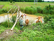 14 JUNE 2013 -  PANTANAW, AYEYARWADY, MYANMAR: Farmers wash their oxen in a canal after they worked tilling rice fields near Pantanaw, Myanmar. After decades of military mismanagement that led to years of rice imports, Myanmar (Burma) is on track to become one of the world's leading rice exporters in the next two years and could challenge traditional rice exporter leader Thailand. Political and economic reforms have improved rice yields and new mills are being built across the country. Burmese eat more rice than any other people in the world. The average Burmese consumes 210 kilos of rice per year and rice makes up 75 percent of the diet.   PHOTO BY JACK KURTZ