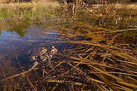 Mating toads.  Many eggs visible in the water.  Wyman Meadow at Walden Pond.