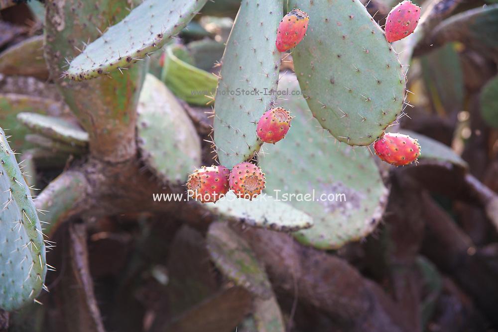 Cactus - Opuntia ficus-indica - sabres or Tzabar Israeli symbol