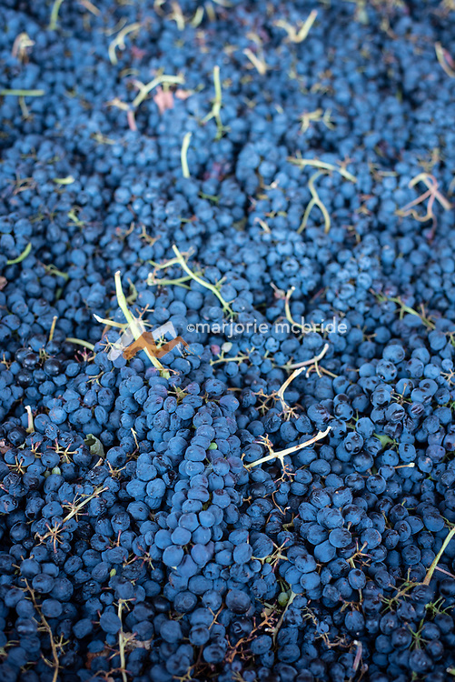 Pile of picked grapes.  Holeinsky Vineyard and Winery in Buhl, Idaho.