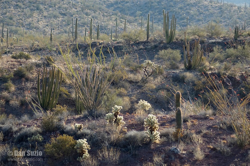 Jumping cholla, Opuntia bigelovii; Saguaro, Carnegiea gigantea; Ocotillo, Fouquieria splendens; Chainfruit cholla, Opuntia fulgida; Organ pipe cactus, Cereus thurberi. Organ Pipe Cactus National Monument, Arizona.