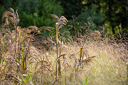 Food for birds. Panicum miliaceum 'Violaceum' - Violet millet - with Panicum elegans 'Frosted Explosion' syn. Agrostis 'Fibre Optics' syn. Panicum capillare 'Sparkling Fountain'.