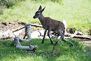 © Licensed to London News Pictures. 14/06/2017. Ham, UK. Recently born fawns along with deer take a first dip in the cooling waters today in Bushy Park. One fawn struggled to leave the small waterway before being left behind by the herd. It continued to struggle before making it's way back across the waterway to the safety of an easier bank. It wandered off following the herd shortly after. Deer cool off in water in Bushy Park in London today, 14th June 2017. Temperatures are expected to reach 28 degrees celsius. Photo credit: Stephen Simpson/LNP