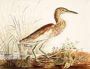 Indian pond heron (Ardeola grayii) hunting. This small heron is found in southern Iran, India, Myanmar and Sri Lanka. It inhabits marshy wetlands and nests in small colonies. It feeds on fish, insects and amphibians. 18th century watercolor painting by Elizabeth Gwillim. Lady Elizabeth Symonds Gwillim (21 April 1763 – 21 December 1807) was an artist married to Sir Henry Gwillim, Puisne Judge at the Madras high court until 1808. Lady Gwillim painted a series of about 200 watercolours of Indian birds. Produced about 20 years before John James Audubon, her work has been acclaimed for its accuracy and natural postures as they were drawn from observations of the birds in life. She also painted fishes and flowers. McGill University Library and Archives