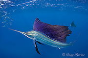 Atlantic sailfish, Istiophorus albicans, lit up in bright colors, attacking bait ball of Spanish sardines (aka gilt sardine, pilchard, or round sardinella ), Sardinella aurita, off Yucatan Peninsula, Mexico ( Caribbean Sea ) (dm)