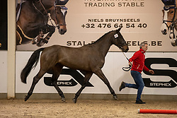 067, Shotgun van't Ruytershof<br /> BWP Hengstenkeuring 2021<br /> © Hippo Foto - Dirk Caremans<br />  11/01/2021