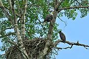 Bald eagles (Haliaeetus leucocephalus) near nest on the English River<br />Ear Falls<br />Ontario