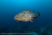 An endangered and protected Goliath Grouper, Epinephelus itajara, swims over an artificial reef offshore Singer Island, Florida., United States
