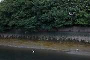 A White Egret stalks for prey in the Lea Navigational Canal in East London, England, United Kingdom.