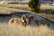 Bighorn ram in South Dakota badlands