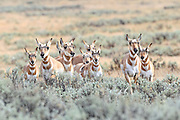 Pronghorn does and fawns walk across a sagebrush flat in Wyoming