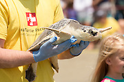 A volunteer carries a Kemp's Ridley sea turtle to the ocean past cheering crowds during the release of rehabilitated sea turtles May 14, 2015 in Isle of Palms, South Carolina. The turtles were rescued along the coast and rehabilitated by the sea turtle hospital at the South Carolina Aquarium in Charleston.