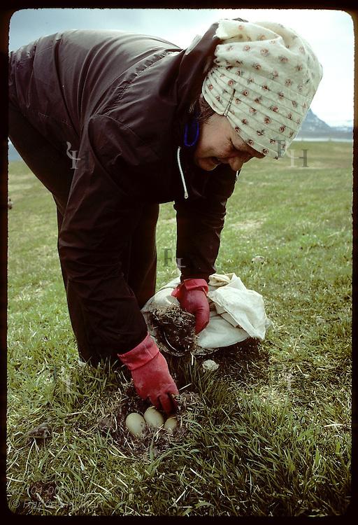 Sigga Salvarsdottir, of Vigur Island's family, takes eiderdown from nest during June harvest. Iceland