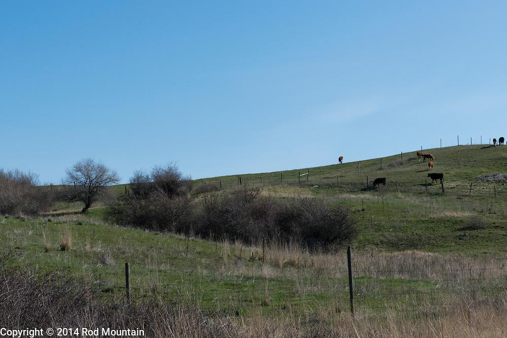 Cattle graze in the distance on an Okanagan hillside.