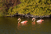 Greater Flamingos (Phoenicopterus ruber) amongst mangrove trees in a brackish pond on Isabela Island, Galapagos Archipelago - Ecuador.