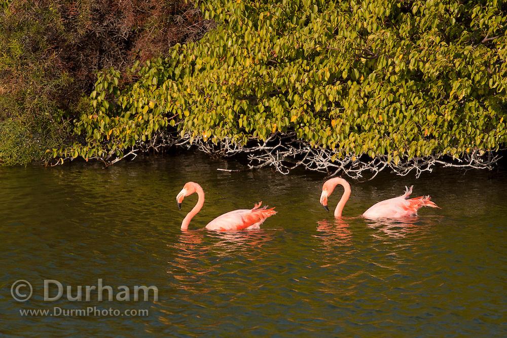 Greater Flamingos (Phoenicopterus ruber) amongst mangrove trees in a brackish pond on Isabela Island, Galapagos Archipelago - Ecuador.