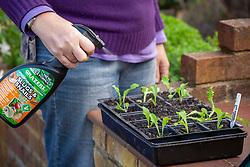 Spraying tray of young seedlings with Grazers liquid slug spray