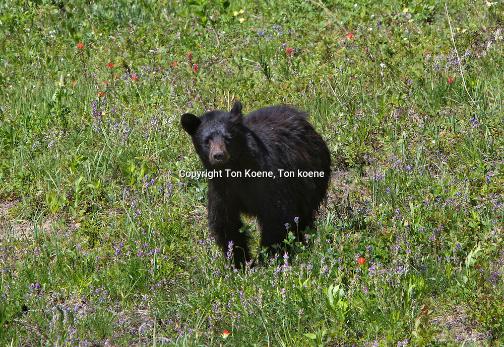black bear in Canada