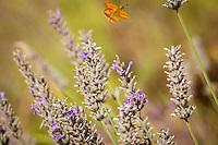 A moth flies way from lavendar blooms.