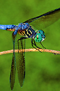 Blue Dasher Dragonfly  - (Pachydiplax longipennis) at rest with its fascinating compound eyes - Mississippi